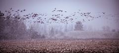 snow flies (Christian Collins) Tags: snow geese heavysnow corn cornfield stubble fresh cut flying birds migration foraging canon 5dmkiv stylized