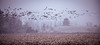 snow flies (Christian Collins) Tags: snow geese heavysnow corn cornfield stubble fresh cut flying birds migration foraging canon 5dmkiv stylized