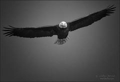 spotted. (evelyng23) Tags: haliaeetusleucocephalus baldeagle eagle inflight nature wildlife stare birding avian birdofprey bw blackandwhite sigma 300mmf28 florida usa 14xtc 420mm aficionados pentaxk3 pentax 2016 winter evelyng23 alachua central