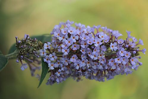 The buddleja started flowering again