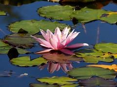 Seerose   EXPLORE #    08.11.2016 (libra1054) Tags: fiori flores flowers fleurs blumen flora ros rosa pink nature natur natura outdoor