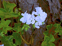 Flora! (maginoz1) Tags: geranium flowers flora abstract art manipulate curves bulla melbourne victoria australia spring november 2016 canon g16 g3x