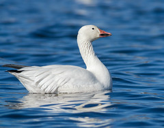 2016-11-25 P9490939 Snow Goose (Tara Tanaka Digiscoped Photography) Tags: digiscoped digidapter snowgoose bosquedelapachenwr manualfocus white feather lake bird floating