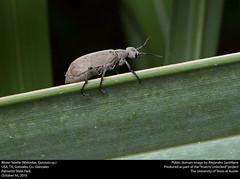 Anglų lietuvių žodynas. Žodis meloidae reiškia <li>meloidae</li> lietuviškai.