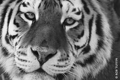 Up close & personal (rewtuffphotos) Tags: amurtiger tiger wildlife nature marwellzoo zoo canon tuffin cat bigcat closeup eyes hampshire blackwhite mono monochrome bw animal mammal