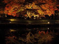 紅一夜 (A night of crimson) 1 (wakyakyamn) Tags: em10markii olympus omd オリンパス fall leaves 秋 葉
