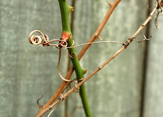 Yet, we are one (goldengirl 2011) Tags: vine oneness weareone strain outdoor katharinehanna ©katharinehanna2016 plant tension oppositedirections