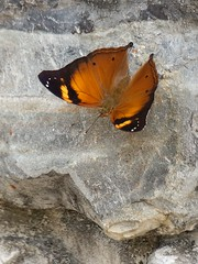 Autumn Leaf Butterfly on Rock Wall (Robert-Ang) Tags: butterfly insect autumnleaf jurongecogarden singapore rock nature wildlife rockwall