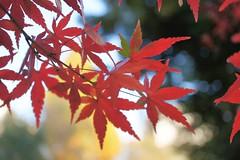 Japanese maple (chisato tanaka) Tags: maple autumn leaves 葉 葉っぱ 秋 紅葉