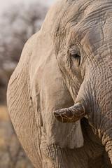Elephant in Etosha (C McCann) Tags: etosha namibia nationalpark africa elephant face tusk ivory closeup safari travel travelling wildlife animal animals outdoor