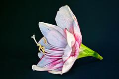 Amaryllis-Blte (novofotoo) Tags: blumen echteamaryllis flowers focusstacking hippeastrum makro motiv natur rittersterne spargelgewchse macro nature