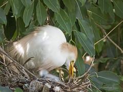 Home care (Maria*_*) Tags: bubulcusibis garçavaqueira ninho nest