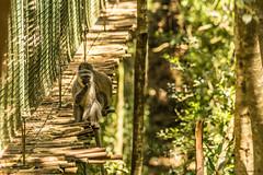 Curieux. (Nona P.) Tags: animal afriquedusud photography canon wild wildlife monkey singe fort