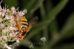 Volucella inanis ♀ (iwanvh) Tags: arthropoda combelavaux diptera fauna insecta rnn volucellainanis art artist biodiversity environement iwan iwanvh naturalist naturaliste nature photographe photographer stage syrphidae vanhoogmoed wwwiwanvhcom