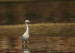 wading (iorus and bela) Tags: bela iorus japan 2016 holiday vakantie hiroshima miyajima itsukushima shrine bird egret white