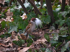 Hilarious weekend . What feathers (Marinyu..) Tags: veréb sparrow mezeiveréb passermontanus margitsziget avar leaflitter winter tél margitisland whatfeathers feathers explore