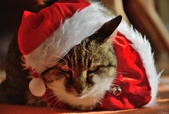 Are you ready for Christmas ? (Mystycat =^..^=) Tags: minetthecat chat cat gato gatto kitty katze christmas nol dguisement animal fte prenol santaclaus costume