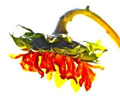 Sun Down (Dee Gee fifteen) Tags: 7dwf macro sunflower