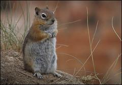 Ardilla  de tierra (Callospermophilus lateralis).  Bryce Canyon (Jesús Gabán) Tags: goldenmantledgroundsquirrel ardilladetierrademantodorado callospermophiluslateralis jesusgaban brycecanyon utah