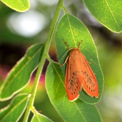 Orange moth (ste.it) Tags: orange macro moth arctiidae arancio arancione rosy falena miniata tamron90 footman miltochrista