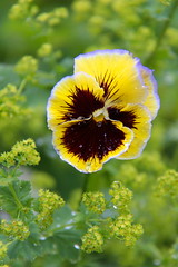 (DJM75) Tags: flowers plants green nature yellow spring pansy chicagobotanicgarden