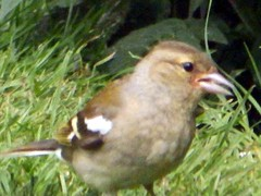 16th June 13 Female Chaffinch (Cardedfolderol) Tags: birds finch finches chaffinch gardenbirds