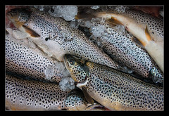 Mountain Lake Trout (ice-cold photography) Tags: mountain lake fish ice iceland fishing hobby catch flyfishing trout