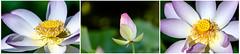 3 (dK.i photography) Tags: flowers summer plant hot flower beautiful asian three washingtondc petals triptych lotus bigma maryland bloom aquatic kenilworthaquaticgardens 2013 bwcpl sigma50500mmf463exdghsmaporf dkiphotography
