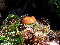 Orange Sea Anemone (WryMuffin) Tags: seattle sealife alki lowtide seaanemone