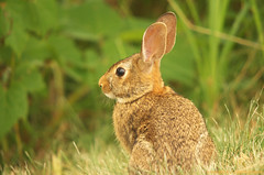 Evening Bunny (S. J. Coates Images) Tags: rabbit animal eastern cottontail
