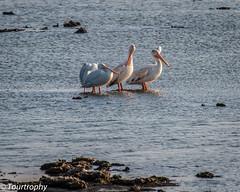 Pelican Island (tourtrophy) Tags: bird pelicans birds canon wildlife pelican donedwards bayarea whitepelican donedwardswildliferefuge whitepelicans canoneos7d bayareawildlife