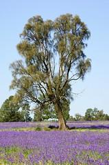 Riverina Spring (gecko47) Tags: flowers plants weeds purple australia newsouthwales narrandera invasive riverina patersonscurse noxious blueweed echiumplantagineum salvationjane riverinabluebell