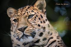 aDSC_4978 (snapperglenn) Tags: new cats snow cute beautiful birds animals zoo big nice nikon leopard cubs winchester marwell wallop d600