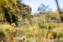 Grass (jukkarothlauronen) Tags: autumn tree leaves göteborg leaf bush sweden gothenburg sverige sweet35optic lensbabycomposerpro