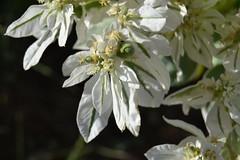 Euphorbia marginata (esta_ahi) Tags: barcelona espaa white flores spain flora plantas flor euphorbia peneds marginata euphorbiaceae euphorbiamarginata guardioladefontrub  cultivadas