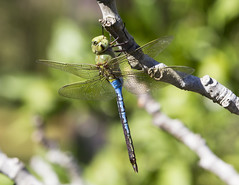 Green Darner 2 (Cliff Collings Photography) Tags: nature animal fauna canon insect dragonfly wildlife darner odonata greendarner 550d