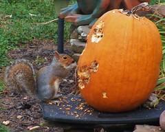 Artist At Work (MissyPenny) Tags: halloween pumpkin squirrel artist pennsylvania zombie peanuts pumpkincarving scarey peanutbutter buckscounty pumpkinface bristolpennsylvania pdlaich missypenny