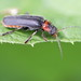 Cantharis fusca (Cantharidae)