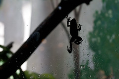 "Frog climbing on window 1 • <a style=""font-size:0.8em;"" href=""http://www.flickr.com/photos/30765416@N06/10548380525/"" target=""_blank"">View on Flickr</a>"