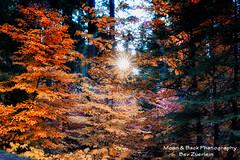 MORNING IN THE FOREST (Aspenbreeze) Tags: california trees forest redwoodtrees sequoia sequoianationalpark sequoiatrees aspenbreeze moonandbackphotography bevzuerlein sunlightsunburst