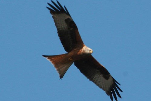 "Red Kite • <a style=""font-size:0.8em;"" href=""https://www.flickr.com/photos/30837261@N07/10722509054/"" target=""_blank"">View on Flickr</a>"
