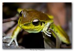 November - Flora or Fauna_0130 (DoctorJ73) Tags: macro nature water fauna night canon eos james nocturnal legs native reserve amphibian lagoon frog 7d danny photgraphy glenrock autralian slimey drj 100mmm