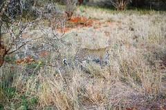 DSC_9595 (m_kabza) Tags: southafrica safari timbavati tandatula