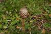 Mushroom (Efkan Sinan) Tags: autumn fall nature tr sonbahar thrace macrolepiotaprocera güz trakya şemsiyemantarı