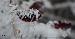 Hoar frost... ((Nicole)) Tags: teddy