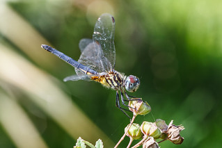 Blue Dasher Dragonfly (Explore 11/26/13)