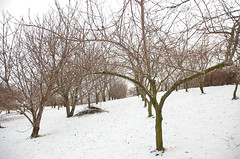 "1-Acre Mixed Orchard in Winter <a style=""margin-left:10px; font-size:0.8em;"" href=""http://www.flickr.com/photos/91915217@N00/11283203456/"" target=""_blank"">@flickr</a>"