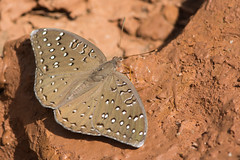 Guineafowl Butterfly on mud (Dave Montreuil) Tags: africa flower macro beautiful butterfly bug insect nice pretty mud peaceful westafrica gambia serene senegal lovely delicate fragile guineafowl daedalus hamanumida