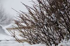 Twigs in the snow