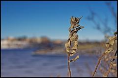 Wolf Willow in Winter (jmschrei) Tags: snow calgary water landscape bokeh alberta glenmorereservoir fa5014 wolfwillow pentaxk5